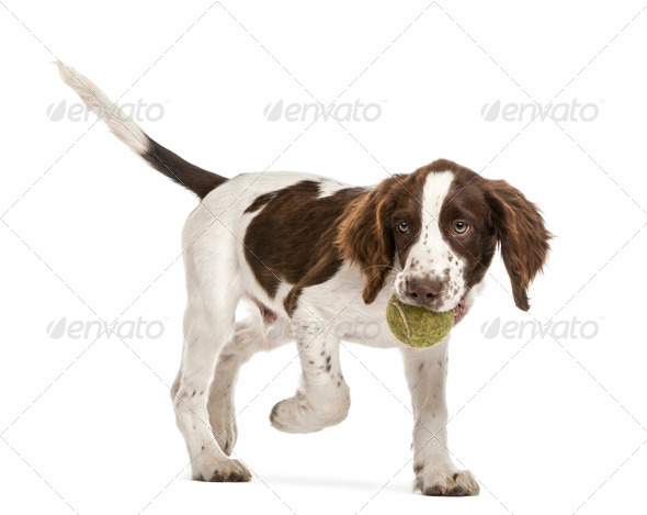 English Springer Spaniel walking with tennis ball in its mouth against white background - Stock Photo - Images