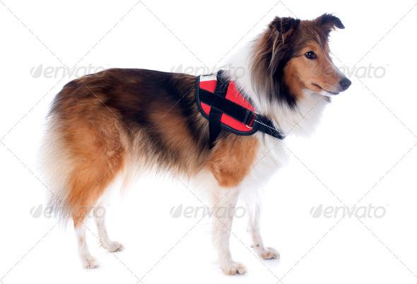 shetland dog and harness - Stock Photo - Images
