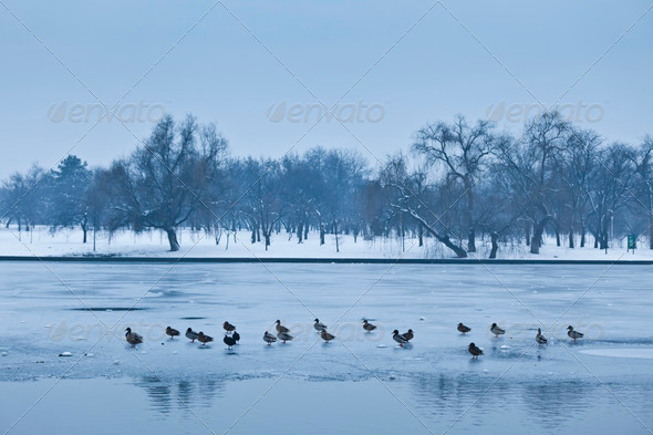 ducks on ice - Stock Photo - Images