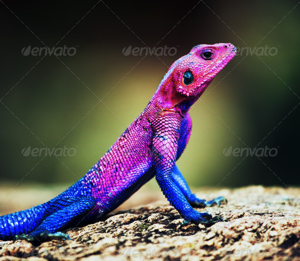 The Mwanza Flat-headed Agama. Serengeti, Tanzania - Stock Photo - Images