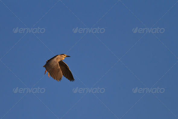 black crowned night heron - Stock Photo - Images