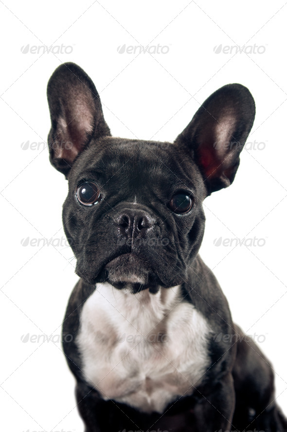 French bulldog portrait - Stock Photo - Images