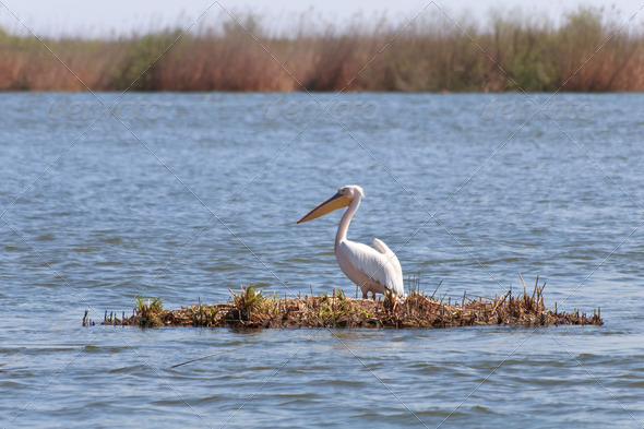 pelican in Danube Delta - Stock Photo - Images