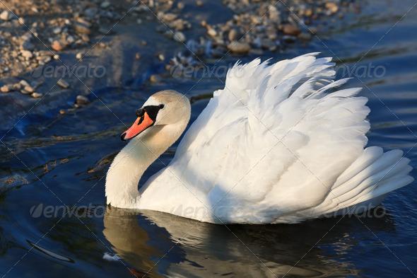 white swan - Stock Photo - Images