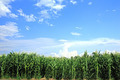 corn field, corn on the cob - PhotoDune Item for Sale