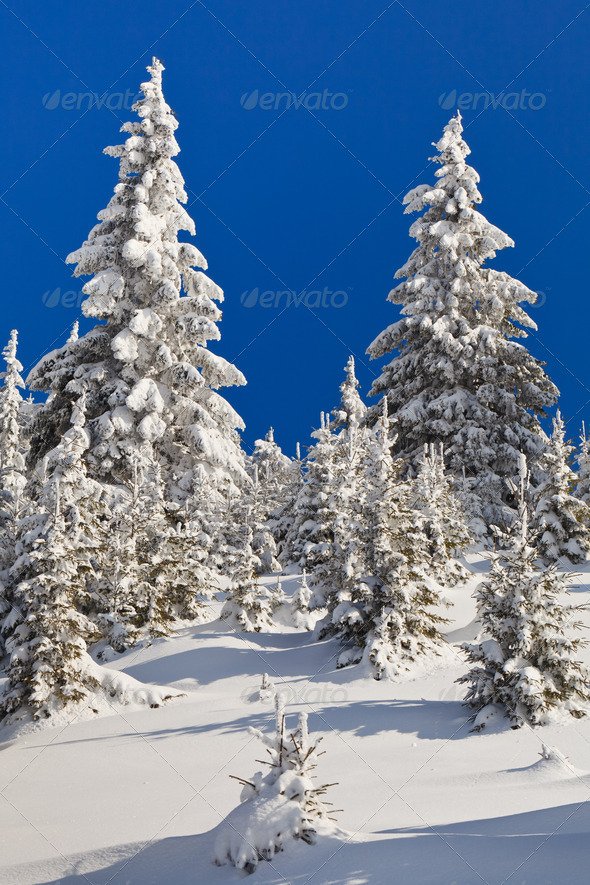 pins with snow  - Stock Photo - Images