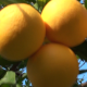 Orange Trees (10-pack) - VideoHive Item for Sale