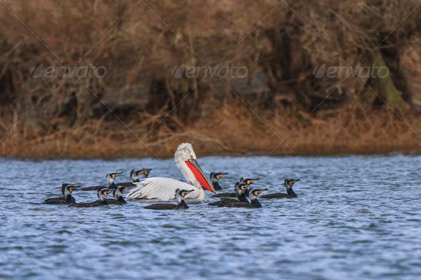 dalmatian pelican and cormorants - Stock Photo - Images