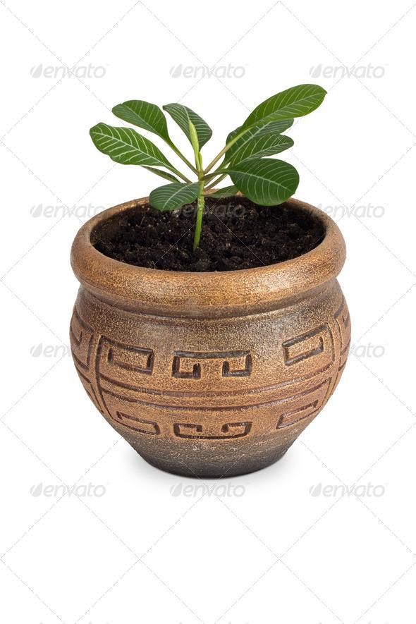 Home plant Euphorbia leuconeura - Stock Photo - Images