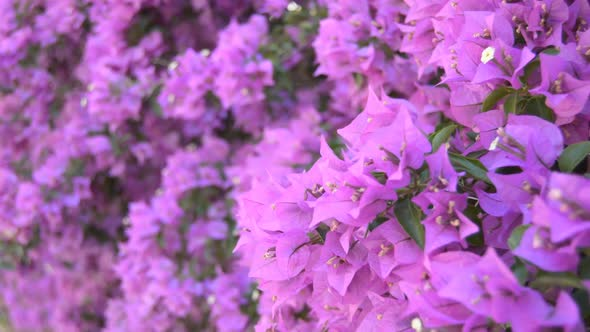 Big pink flowers on a big bush by msvoy videohive play preview video mightylinksfo