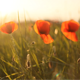 Wild Poppies (3-Pack) - VideoHive Item for Sale