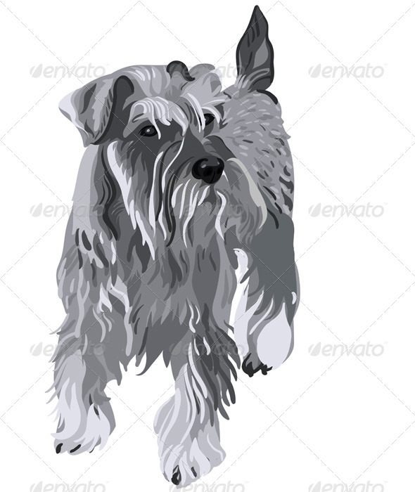 Vector Miniature Schnauzer do - Animals Characters