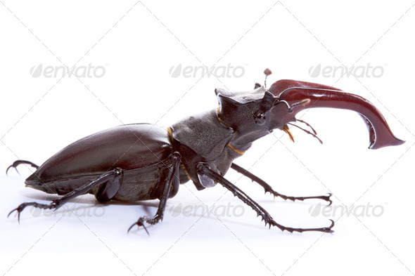 Stag Beetle - Stock Photo - Images