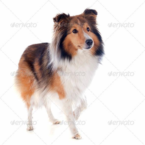 shetland dog - Stock Photo - Images