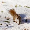 Alert cute American Red Squirrel in winter snow - PhotoDune Item for Sale