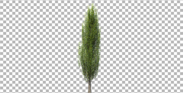 Tree poplar - 3DOcean Item for Sale