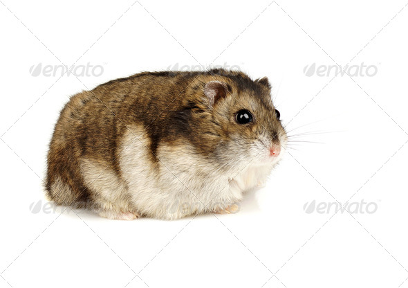 Dwarf Hamster - Stock Photo - Images