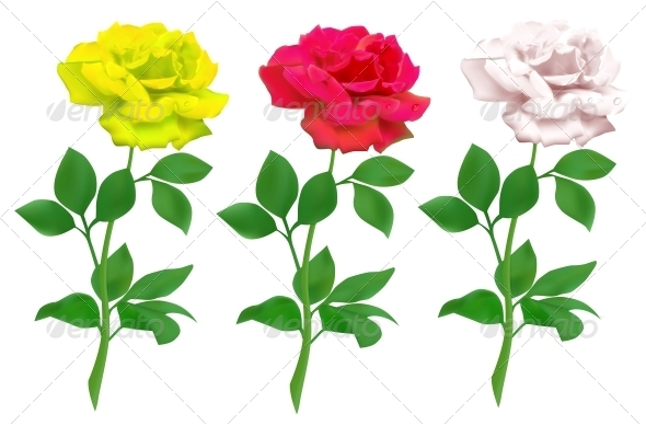 Realistic Rose Isolated on White Background - Flowers & Plants Nature