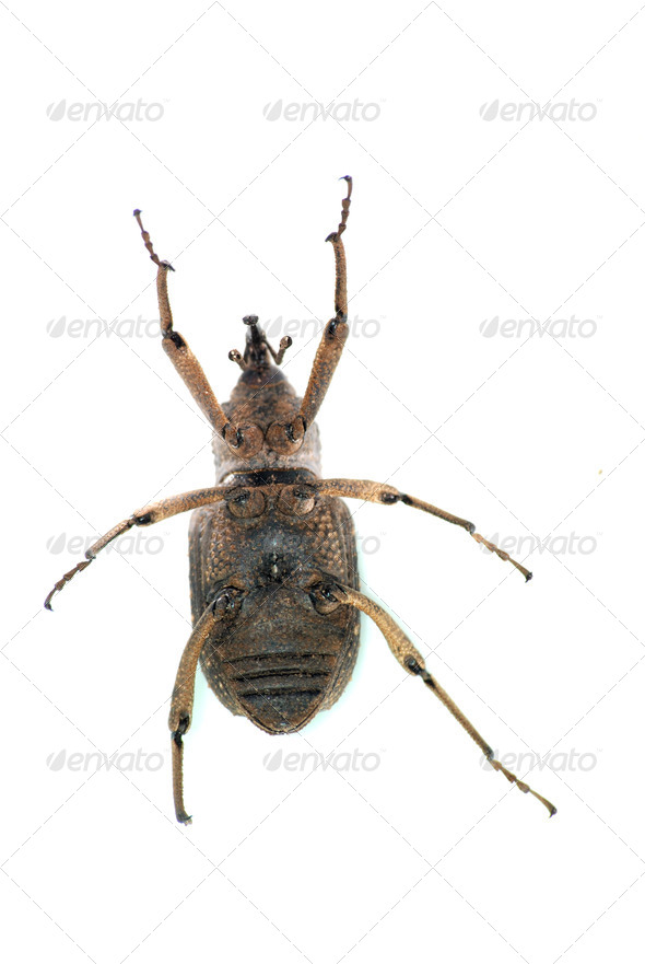 insect snout beetle - Stock Photo - Images
