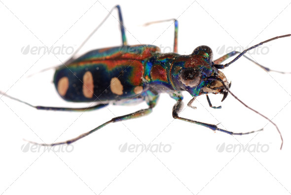 insect tiger beetle - Stock Photo - Images
