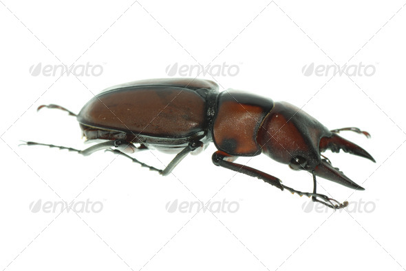 insect stag beetle - Stock Photo - Images