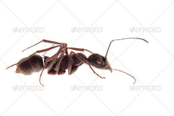 ant isolated - Stock Photo - Images