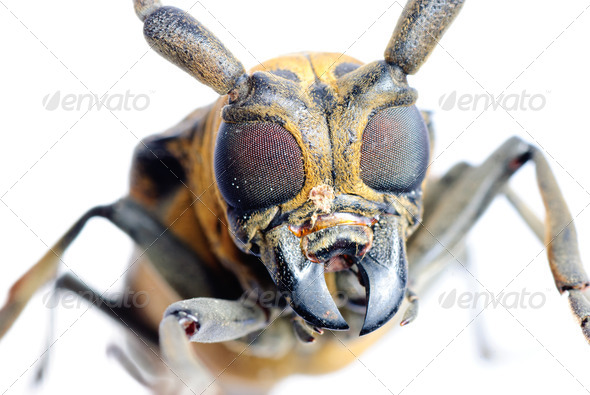 insec long horn beetle - Stock Photo - Images