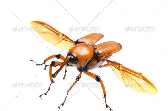brown palm weevil beetle - Stock Photo - Images