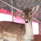 Deer - VideoHive Item for Sale
