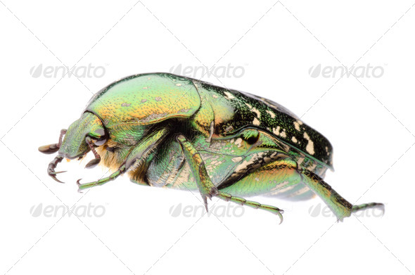 green flower beetle - Stock Photo - Images