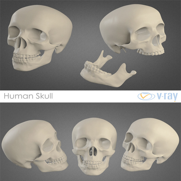 Human Skull High Poly By Sickleadzdk 3docean