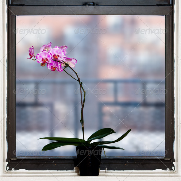 Orchid plant by window - Stock Photo - Images