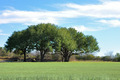 Three Trees, Grass and a blue sky in Texas - PhotoDune Item for Sale