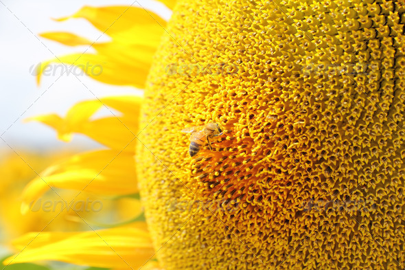 Bee on sunflower - Stock Photo - Images