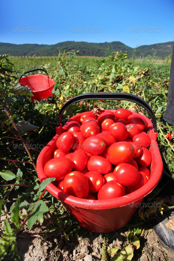 fresh tomatoes in field - Stock Photo - Images