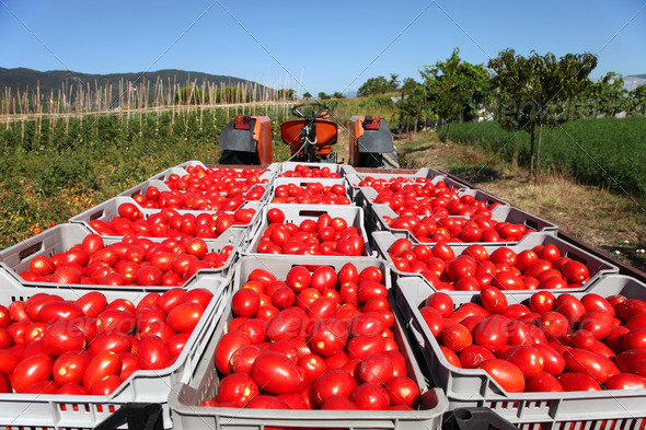 fresh tomatoes on tractor - Stock Photo - Images