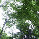 View from Ground of High Trees in Forest - VideoHive Item for Sale