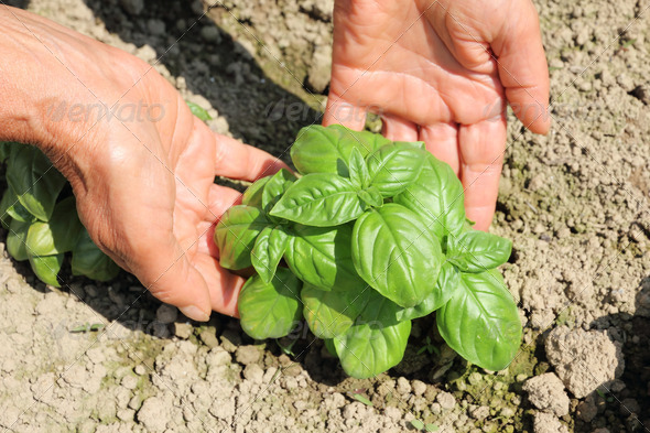 farmer hands getting basil - Stock Photo - Images