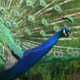 The Peacock - VideoHive Item for Sale