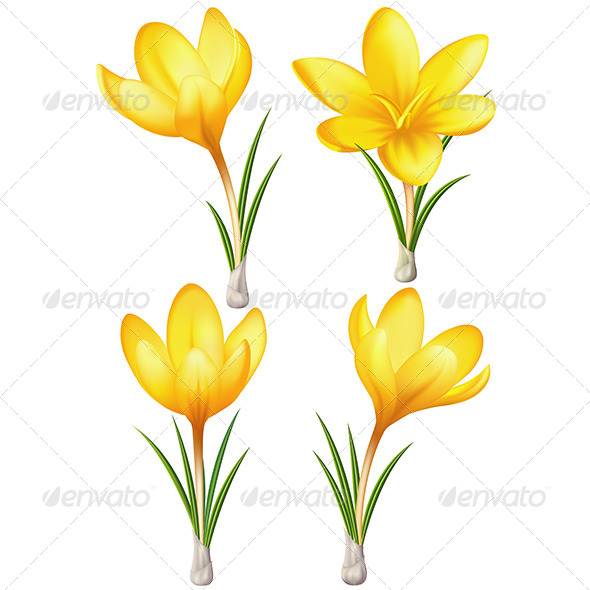 Set of Yellow Crocuses - Flowers & Plants Nature