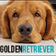 Golden Retriever Dog Sleepy  - VideoHive Item for Sale