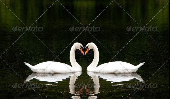 Romantic Swans - Stock Photo - Images