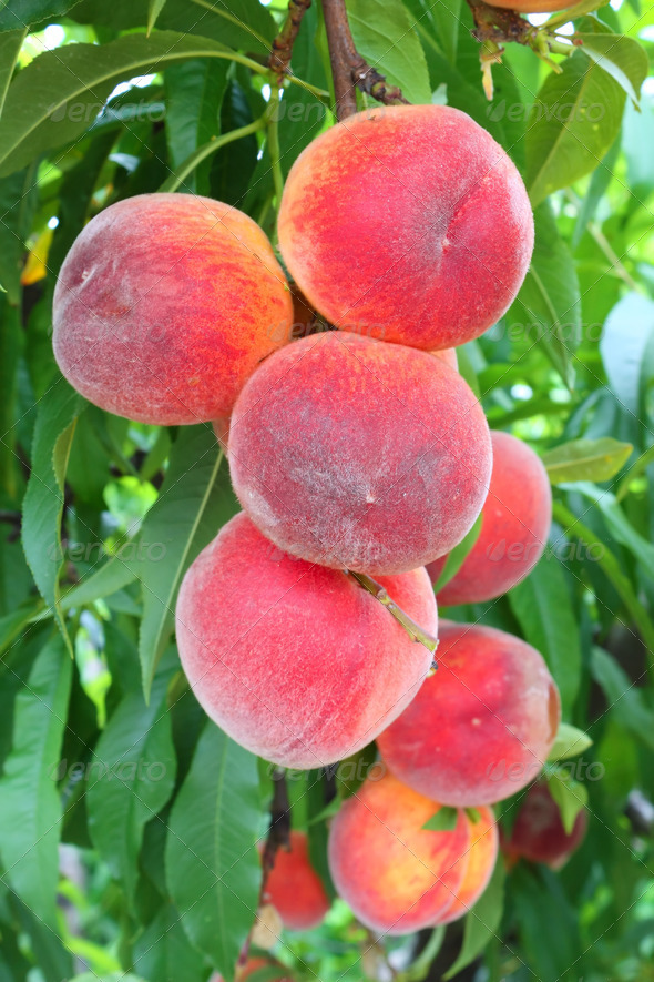 peach tree - Stock Photo - Images