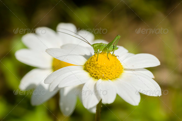 Green grasshopper on chamomille flower - Stock Photo - Images