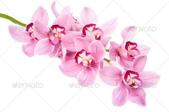 pink orchid flowers isolated - Stock Photo - Images
