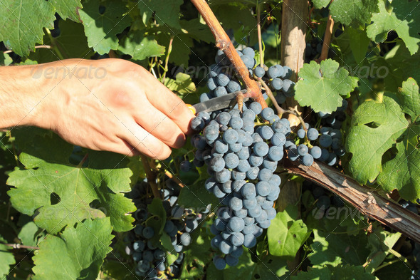 Grape harvesting - Stock Photo - Images