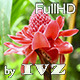 Tropical Ginger Flower - VideoHive Item for Sale