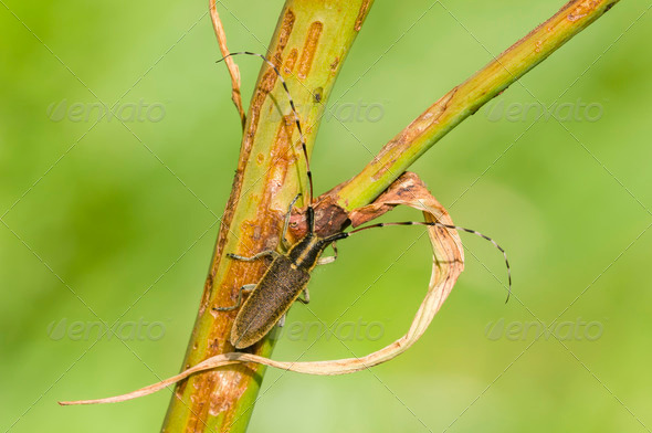 Common longhorn beetle - Stock Photo - Images