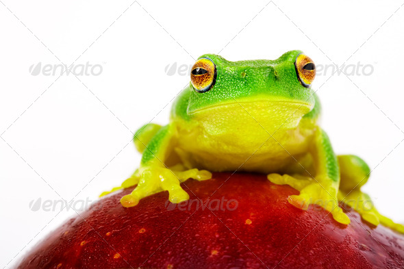 Green tree frog sitting on apple - Stock Photo - Images