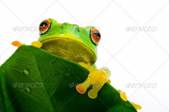 Frog peeking out from behind the leaf - Stock Photo - Images